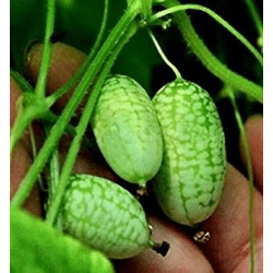Semillas de Cucamelon, Sandia Ratón o Pepinillo Agrio mexicano (Melothria scabra) 20 Semillas