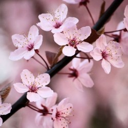 Semillas de Cerezo Japonés Sakura (Prunus Serrulata)