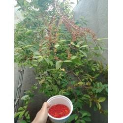 Comprar semillas de coca Erythroxylum coca en central de semillas