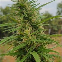 Tiborszallasi Central de semillas es una planta dioica muy productiva y resistente