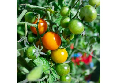 Semillas tomate cherry