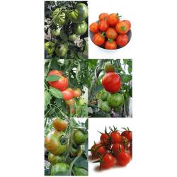 Kit de semillas de tomates especiales y antiguos 'Berner Rose', 'Tigerella' y Tomate Pasa